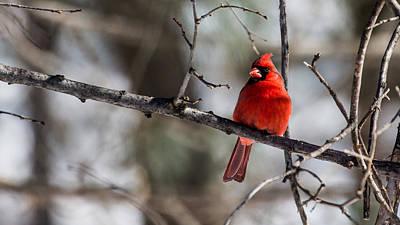 Cardinal Poster by Dan Traun