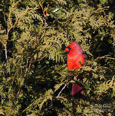 Poster featuring the photograph Cardinal I by Michelle Wiarda