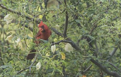 Cardinal In Mesquite Poster by Laura Pratt