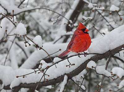Cardinal In The Snow 1 Poster by Robert Ullmann