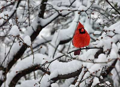 Cardinal In The Snow 2 Poster by Robert Ullmann
