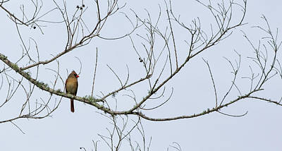 Poster featuring the photograph Cardinal In Tree by Richard Rizzo