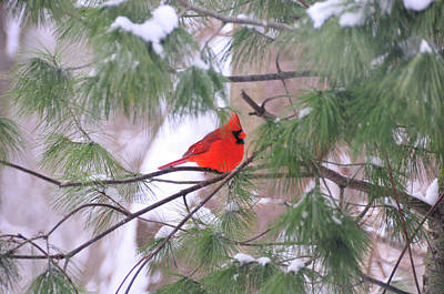 Cardinal In Winter Poster