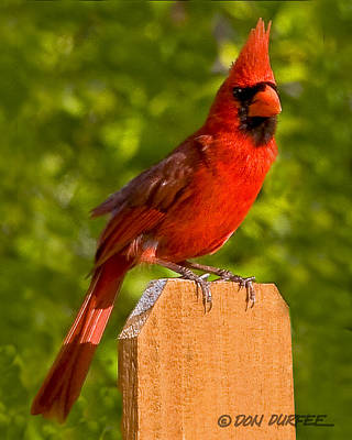 Cardinal On Fence Poster by Don Durfee
