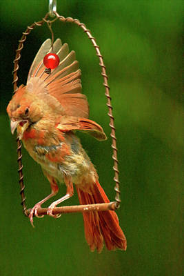Cardinal On Swing  Poster by Geraldine Scull