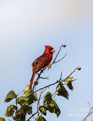 Poster featuring the photograph Cardinal On Treetop by Robert Frederick