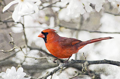 Poster featuring the photograph Cardinal Spring - D009909-a by Daniel Dempster