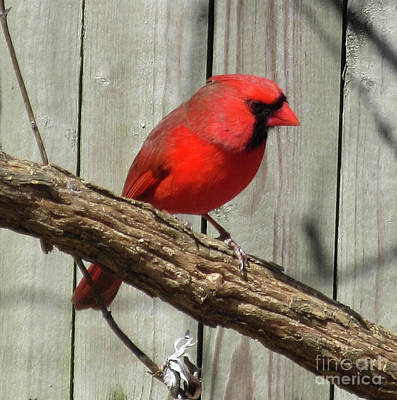 Cardinal Waiting For Spring Poster