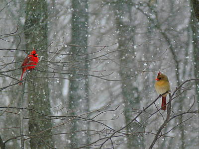 Cardinals In Snow Poster by Serina Wells