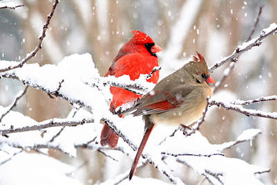 Cardinals In The Winter Poster