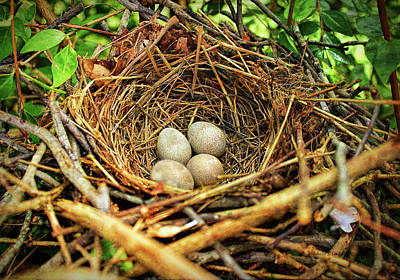 Poster featuring the photograph Brown Thrasher Nest And Eggs by Bellesouth Studio