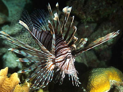 Caribbean Lion Fish Poster by Amy McDaniel