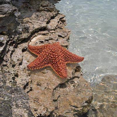 Caribbean Starfish Poster