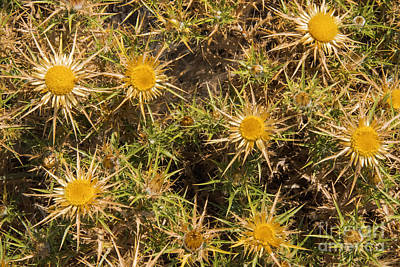 Carline Thistle Poster