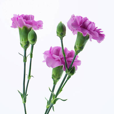 Carnations Three Lavender Poster