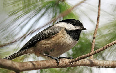 Poster featuring the photograph Carolina Chickadee by Charline Xia