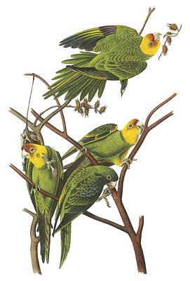 Carolina Parakeet Poster by John James Audubon
