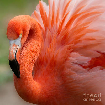 Caribbean Flamingo Poster by Chris Scroggins
