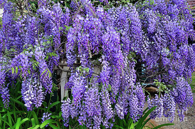 Cascading Wisteria 2 Poster by Kaye Menner
