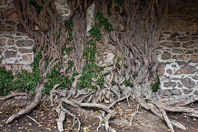 Castle Wall With Creeping Tree Roots Poster