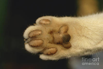 Cat Paw Poster by Frederic Jacana