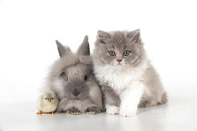 Cat, Rabbit And Chick Poster
