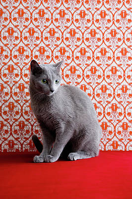 Cat (russian Blue) And Wallpaper Background Poster by Ultra.f