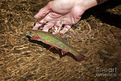 Catch And Release Trout Poster by John Stephens