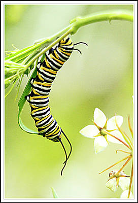 Caterpiller On Plant Poster by Geraldine Scull