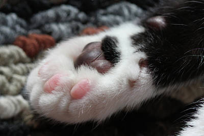 Cats Paw Poster by Kim Henderson