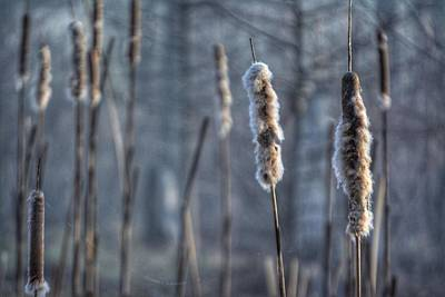 Cattails In The Winter Poster
