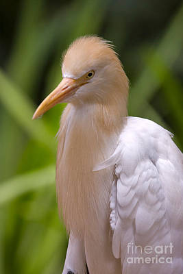 Cattle Egret Poster by Louise Heusinkveld
