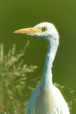 Cattle Egret  Poster by Robert Frederick