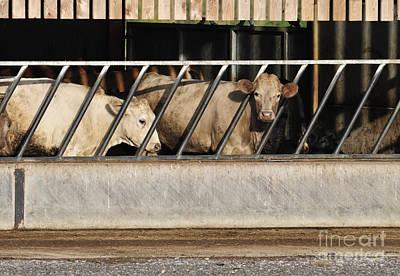 Cattle Feeding In A Barn Poster