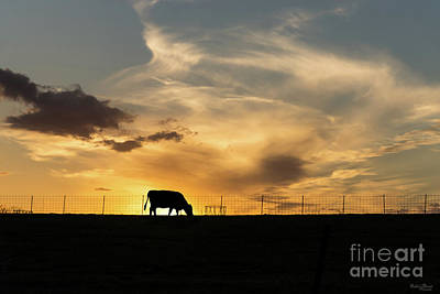 Cattle Sunset Silhouette Poster by Jennifer White