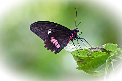 Cattleheart Butterfly Poster by Cheryl Cencich