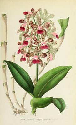 Cattleya Guttata Leopoldi Poster