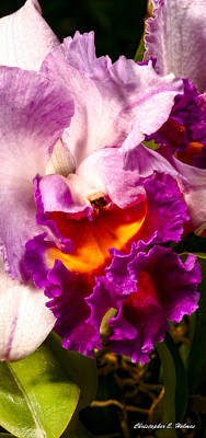 Cattleya IIi Poster by Christopher Holmes
