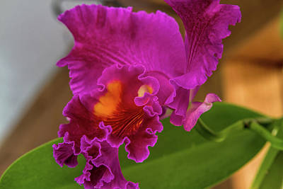 Cattleya Orchid Poster by Alana Thrower