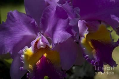 Cattleya Orchid Garden Of Eden Maui Poster