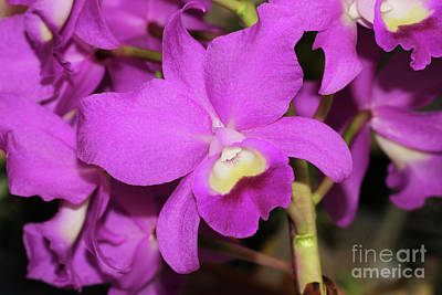 Cattleya Porcia Poster by Judy Whitton