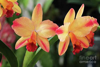 Cattleya Tokyo Magic X Circle Of Life Orchids Poster