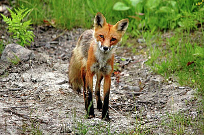 Poster featuring the photograph Cautious But Curious Red Fox Portrait by Debbie Oppermann
