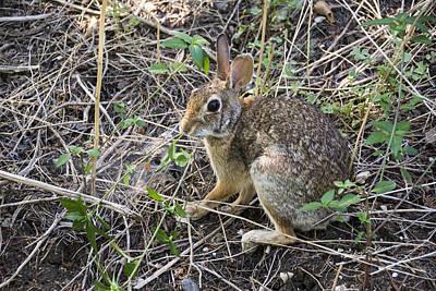 Cedar Hill Bunny Poster