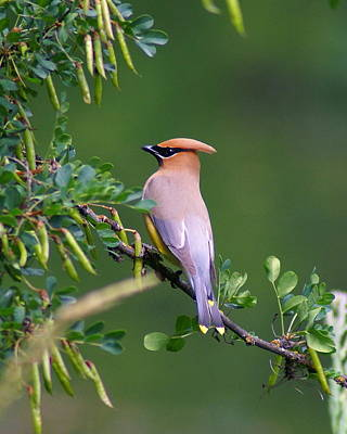 Poster featuring the photograph Cedar Waxwing 1 by Ben Upham III