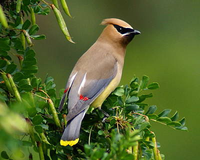 Poster featuring the photograph Cedar Waxwing by Ben Upham III