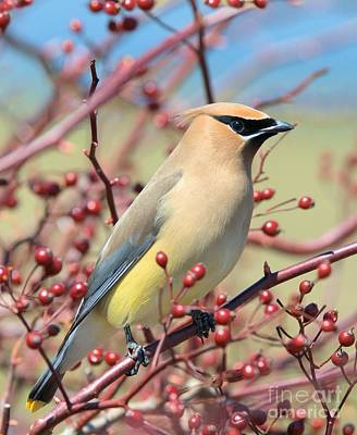 Poster featuring the photograph Cedar Waxwing by Debbie Stahre