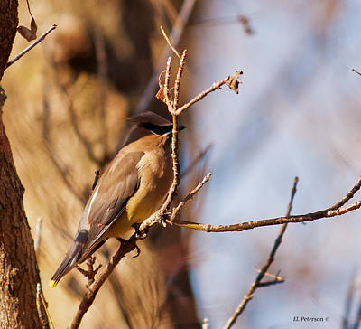 Cedar Waxwing In Autumn Poster by Edward Peterson
