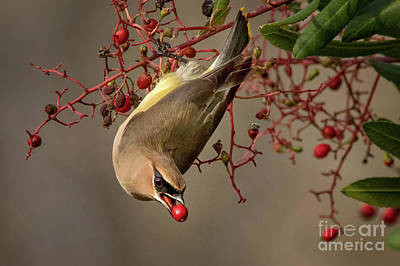 Cedar Waxwing With Toyon Berry Poster
