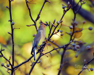 Poster featuring the photograph Cedar Waxwing With Windblown Crest by Kerri Farley of New River Nature